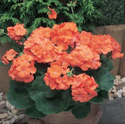 KGP Geranium New Century Orange Starter Plant