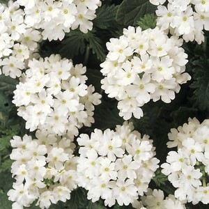 KGP Verbena Aztec Magic White