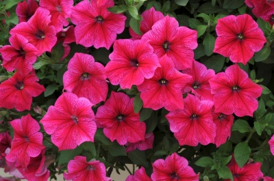 KGP Petunia Fanfare Hot Rose