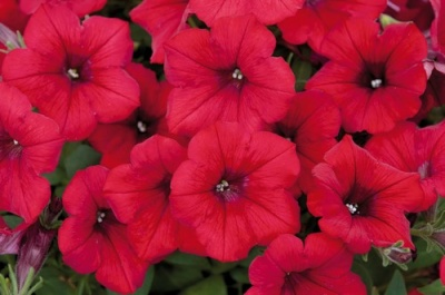 KGP Petunia Surfinia Deep Red Starter Plant