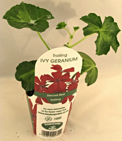 Kgp ivy geranium decora red premium starter plant bosworths online shop - How to care for ivy geranium ...