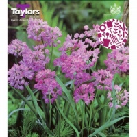 Taylors Allium Oreophilum 25 Bulbs Pack