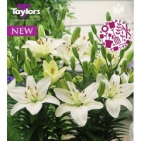 Taylors Belem Lily 3 Bulb Pack