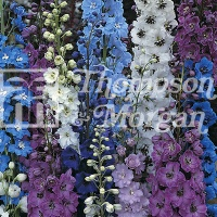 Delphinium 'Pacific Hybrids Mixed' Seeds - Thompson & Morgan