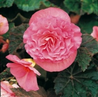 KGP Container Begonia Nonstop Pink Premium Starter Plant