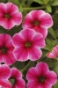 KGP Calibrachoa Can-Can Hot Pink Star Starter Plant