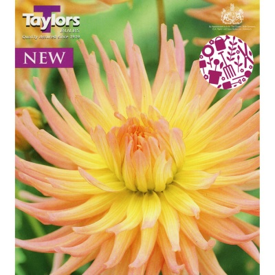Taylor's Bulbs Dahlia Apricot Star Single Tuber Pack