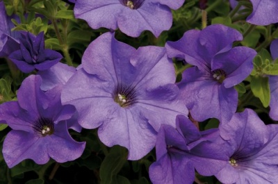 KGP Sufinia Heavenly Blue Starter Plant