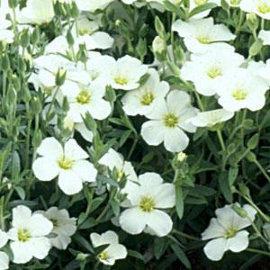 Arenaria mont Avalanche1ltr Herbaceous Bosworths Grown