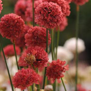 Armeria pseud Ballerina Red1ltr Herbaceous Bosworths Grown