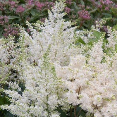 Astilbe arend Astary White1ltr Herbaceous Bosworths Grown