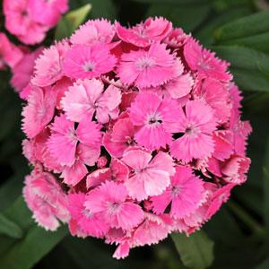 Dian Dash Pink1ltr Herbaceous Bosworths Grown