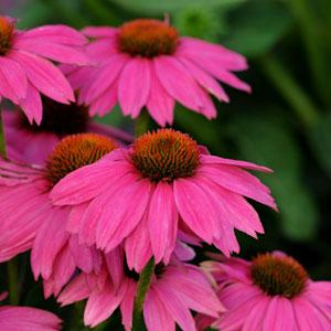Echinacea PowWow Wild Berry1ltr Herbaceous Bosworths Grown