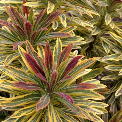 Euphorbia mart Ascot Rainbow#1ltr Herbaceous Bosworths Grown