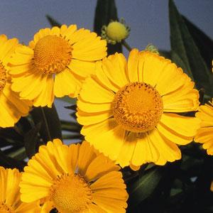 Helenium Helena Gold1ltr Herbaceous Bosworths Grown