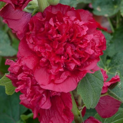 Hollyhock Chater Scarlet 1ltr Herbaceous Bosworths Grown