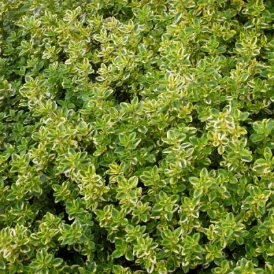Thymus Golden Queen 1ltr Herbaceous Bosworths Grown