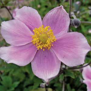 Anemone Pink Saucer 1ltr Herbaceous Bosworths Grown