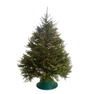 Premium Cut Norway Spruce 1.5m-1.75m (approx 5-5½ft)