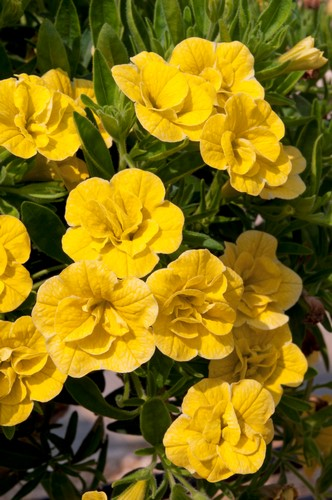 KGP Calibrachoa Can-Can Double Dark Yellow Starter Plant