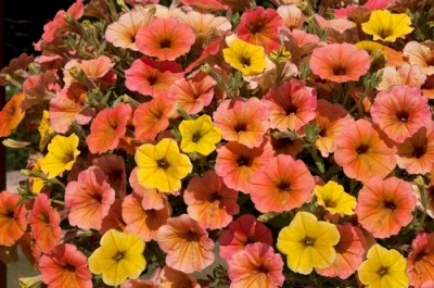 KGP Petunia Cascadia Indian Summer