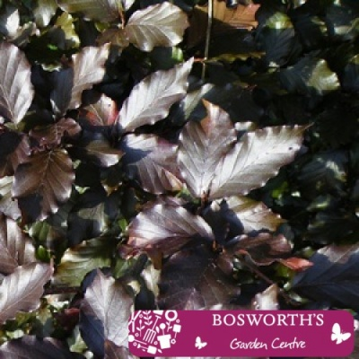 Bare Root Hedging - Purple/Copper Beech Fagus Purpurea (Single)