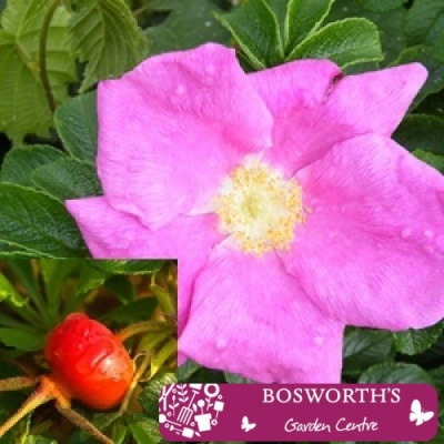 Bare Root Hedging - Rosa Rugosa (Single)