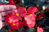 KGP Container Begonia Whopper Bronze Leaf Red Premium Starter Plant