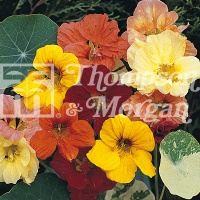 Nasturtium 'Alaska Mixed' Seeds - Thompson & Morgan