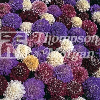 Scabiosa 'Dwarf Double Mixed' Seeds - Thompson & Morgan