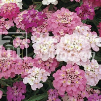 Candytuft 'Dwarf Fairy Mixed' Seeds - Thompson & Morgan
