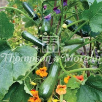 Courgette 'Black Forest' F1 Hybrid Seeds - Thompson & Morgan
