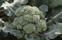 Broccoli Plant - Marathon - Pack 8