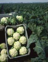 Cauliflower Plant - All Year Round - Pack 8