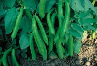 Broad Bean Plants - Witkiem - Pack 6