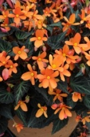 KGP Container Begonia Glowing Embers Premium Starter Plant