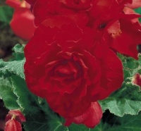 KGP Container Begonia Nonstop Red  Premium Starter Plant