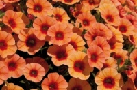 KGP Calibrachoa Can-Can Coral Reef Starter Plant
