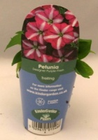 KGP Petunia Designer Purple Flash Starter Plant