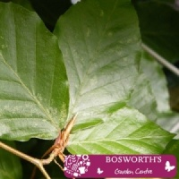 Bare Root Hedging - Green Beech Fagus Sylvatica (Single)