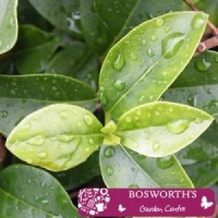 Bare Root Hedging Green Privet (Single)